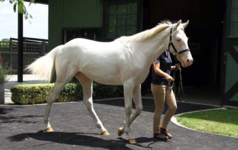 White Thoroughbred Being Sold In Auction